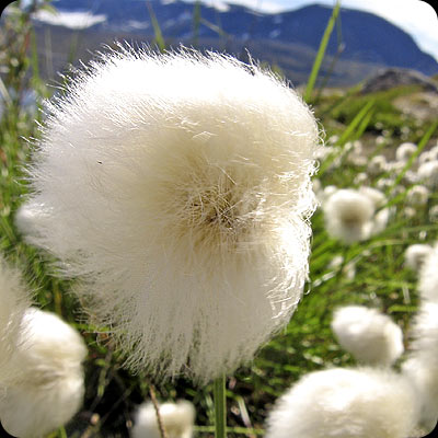 Eriophorum scheuchzeri. Cotton-grass, Scheucher's Wollgras, Polarull