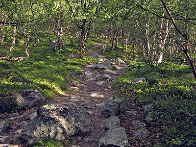 Trail thru subalpine birch forest, Swedish Lapland
