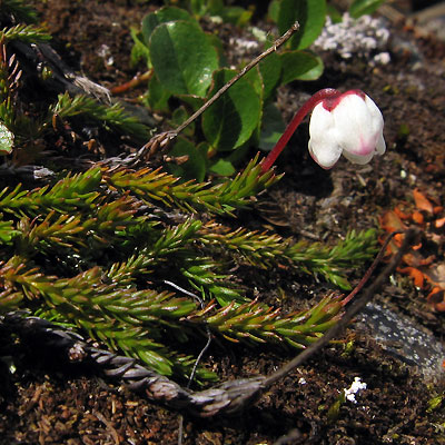 Cassiope hypnoides. Mossy Mountain-heather, Moosheide, Mossljung